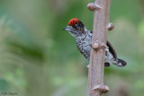 White-bellied Piculet