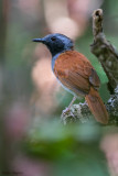 White-bellied Antbird