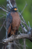 Rufous Crab-hawk