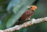 Waved Woodpecker