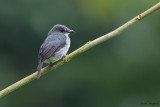 Dusky-blue Flycatcher