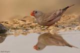 Trumpeter Finch