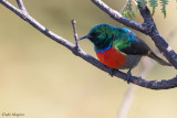Montane Double-collared Sunbird