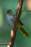 Yellow-throated Nicator