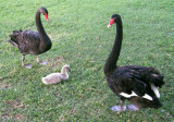 A Swan Family (9 pictures)
