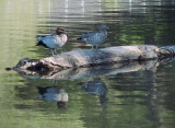 Wood ducks on a floating log