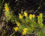 Persoonia
