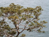 Fig Tree at water's edge