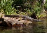 Freshwater crocodile retreating
