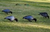 Wood ducks and rosellas