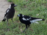 Magpies – mother and juvenile: 1