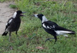 Magpies – mother and juvenile: 2