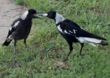 Magpies – mother and juvenile: 3