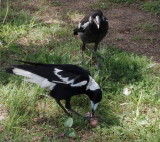 Magpies – mother and juvenile: 4