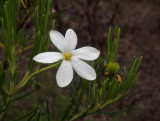 Ricinocarpos pinifolius