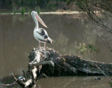 One pelican on watch