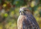 Autumn Hawk 102917