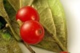 P6878_mulberry.JPG