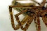 P6910_house_spider.JPG