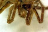 P6912_house_spider.JPG