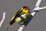 Séjour Ornithologique en Gaspésie 2018