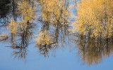 Trees reflected in standing water along the Columbia River Gorge