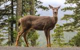 Mule Deer along the park road to Hurricane Ridge in Olympic National Park