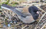 A Black Eyed Junco at Hurricane Ridge in Olympic National Park