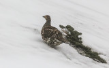 A Snooty Grouse in the snow near the Hurricane Ridge Visitor Center in Olympic National Park