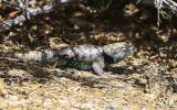 Large lizard in Desert National Wildlife Refuge