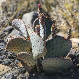 Prickly Pear cactus with fruit in Desert National Wildlife Refuge