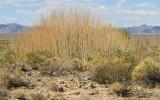 Tallgrass near a desert spring in Desert National Wildlife Refuge