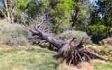 Fallen tree in the spring fed area of Desert National Wildlife Refuge