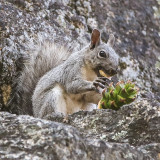A Western gray squirrel works on a pine cone in the Hetch Hetchy Valley in Yosemite National Park