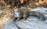 A California ground squirrel in the Hetch Hetchy Valley in Yosemite National Park