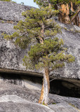 A tree growing from a crack in the granite along the Tioga Road in Yosemite National Park