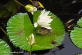 Hiding Under a Lotus Flower