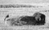 Bison National Bison Range Montana