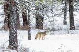 Coyote Turnbull Wildlife Refuge