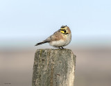 Horned Lark on post, Lincoln County, WA