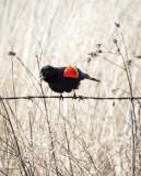Red Wing Black Bird Lincoln County, WA.