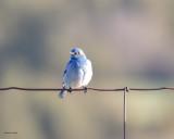 Mountain Blue Bird National Bison Range,  MT