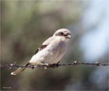 Loggerhead Shrike, Lincoln County WA