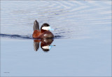 Ruddy Duck, Lincoln Co. WA