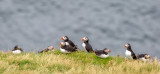 Puffins Vestmannaeyjar Islands Iceland
