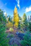 Tamarack in forest Montana