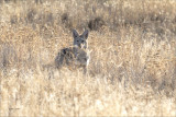 Coyote in the Grass Montana