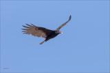 Vulture n Flight Eastern WA