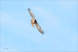 Red Tail n flight, Eastern Washington