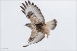 Rough Legged Hawk Lincoln County